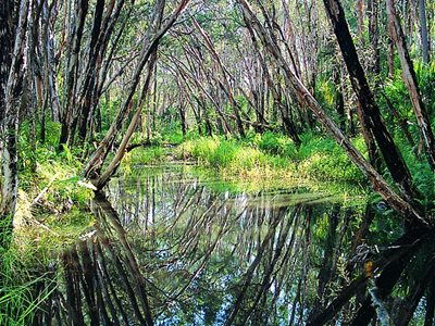 Broad-leaved Paperbark (Meleleuca quinquenerva) overhanging Deepewater Creek. Photo Carl Moller.