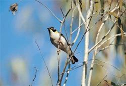 The black-chinned honeyeater, a rare species recorded at Yourka. Photo Graeme Chapman.
