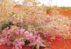 Flowering pink fringe myrtle (Calytrix longifl ora) on a sand dune after winter rains, part of the biologically diverse desert ecosystem on Cravens Peak Reserve, Qld. Photo Wayne Lawler / EcoPix.