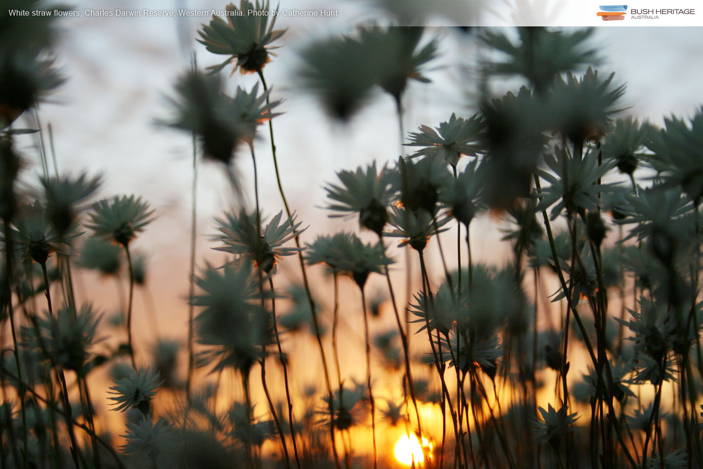 Straw Flowers at sunset on Charles Darwin Reserve, Western Australia