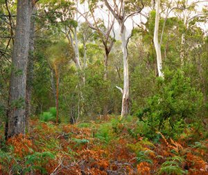 Swamp Gum and Manna Gum forests on Friendly Beaches Reserve. Photo Wayne Lawler / EcoPix.