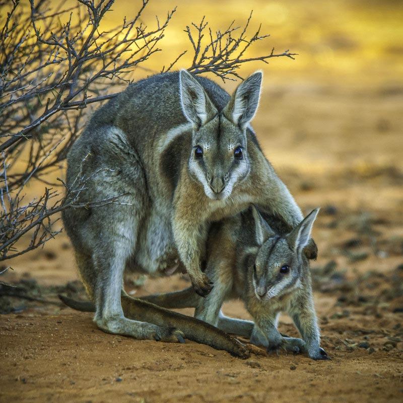 Wallabies Bush Heritage Australia