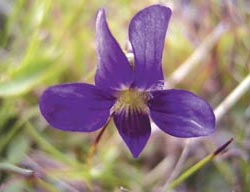 Showy violet (Viola betonicifolia). Photo Matt Appleby.
