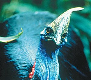 The Southern Cassowary. Photo Wayne Lawler/EcoPix.