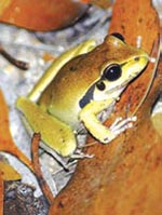 Stony-creek frog, Yourka Reserve, Qld. Photo Wayne Lawler / EcoPix.