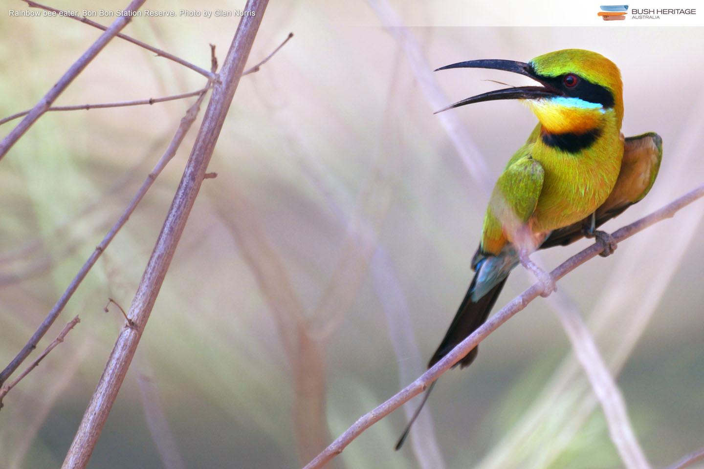 Rainbow Bee-eater at Bon Bon Reserve, by Glen Norris