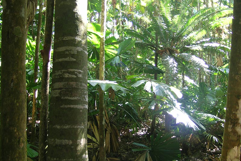 The Dense Canopy On Falm Palm Reserve Photo Siggy Heise Pavlov