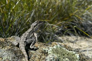 Dwarf Bearded Dragon on Beringa. Photo Chinch Gryniewicz.