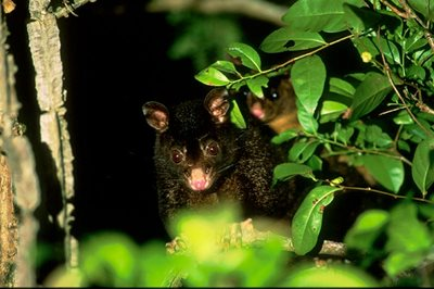 Brush-tailed Possum. Photo Wayne Lawler / EcoPix.
