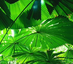 Fan Palms. Photo Steven Nowakowski.