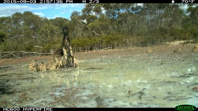 A remote monitoring camera has captured a father Emu taking his chicks for a swim at Monjebup Creek Reserve, WA.