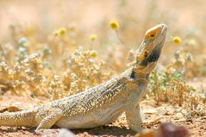 A Bearded Dragon basks in the sun at Ethabuka. Photo Wayne Lawler / EcoPix.