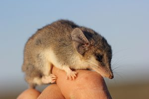 A Fat-tailed Dunnart on our Charles Darwin Reserve, WA. Photo Tim Doherty.