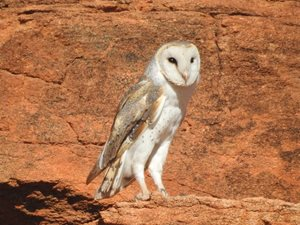 A Barn Owl at Cravens Peak in Queensland. Photo Jane Blackwood.