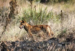 A dingo on Carnarvon Reserve, Qld. Photo Emma Burgess.
