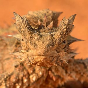 The Thorny Devil looks frightening up close. Photo Ben Parkhurst.
