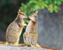 Mareeba rock wallabies. Photo Wayne Lawler / EcoPix